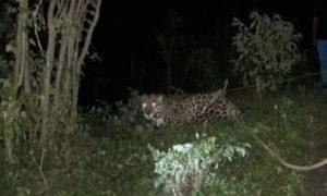 jaguar-del-circo